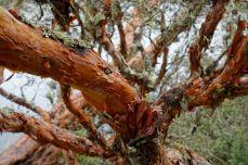 Papertree-Rinde