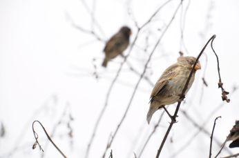 Darwin's Finch
