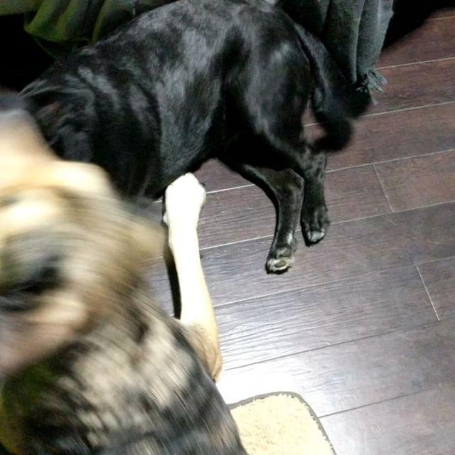 I'm running an illegal dog fighting ring beside my desk #abbieandrascal #crazydog #sillydog #mydogsareweird