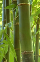 bamboo used in Chinese medicine