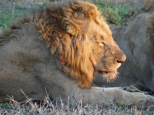 Lion Big 5 animal on safari in South Africa Sabi Sands in Kruger