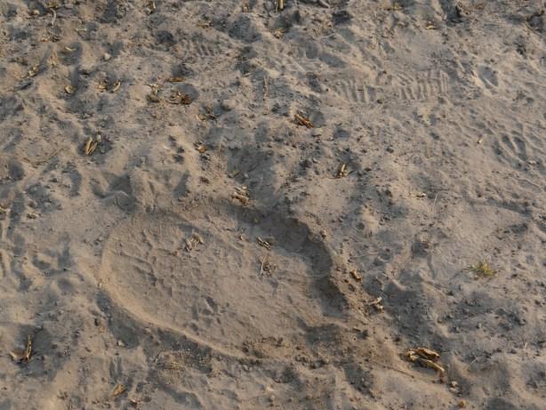 Animal pawprint in sand on walking safari in Botswana
