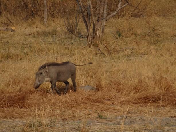 Warthog on walking safari in Botswana