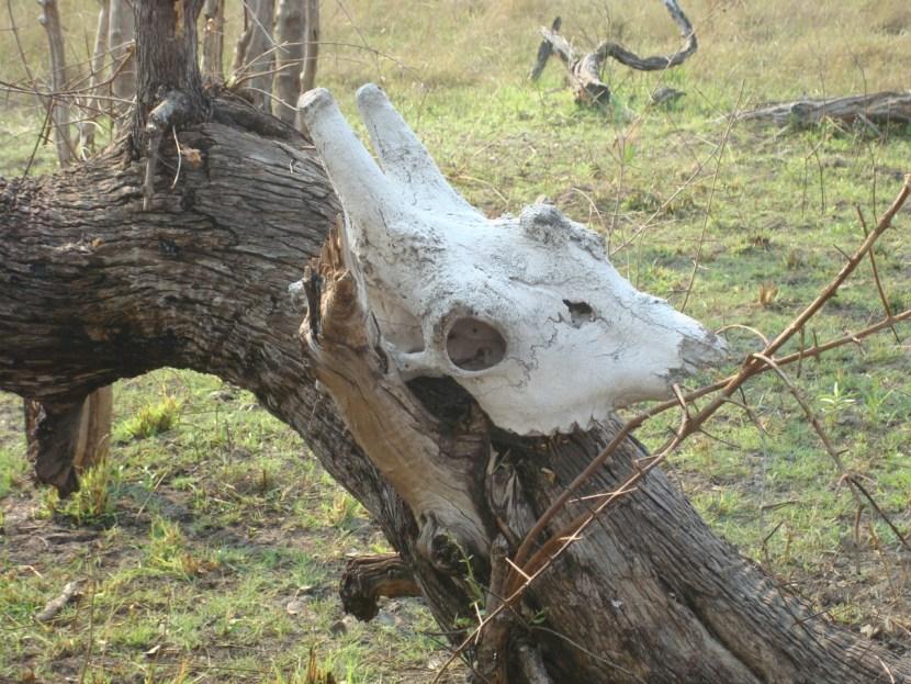 Okavango Delta skeleton