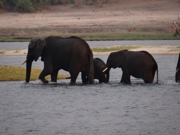 Elephants swimming in river at Chobe