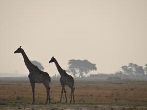 Giraffes in Chobe Safari Park, Botswana