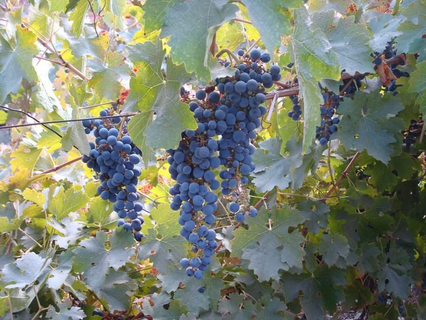 Bike Wine Tour Santiago Chile Carmenere Grapes