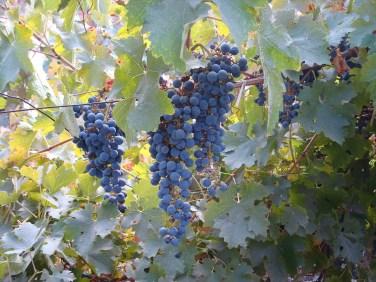 Carmenere Chilean grapes