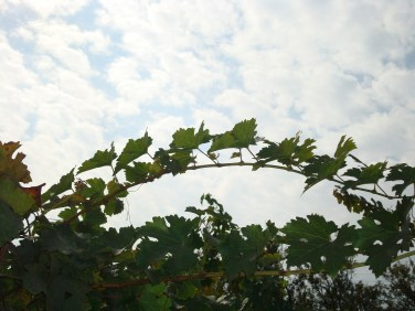 Vineyards Santigao