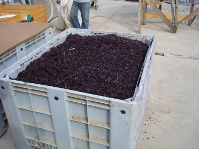 Chile grapes at the winery