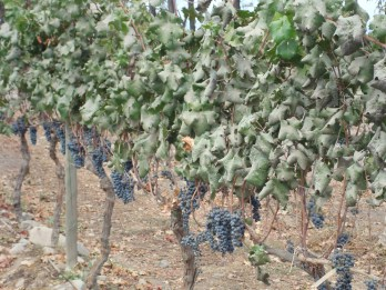 The grapes of Santiago