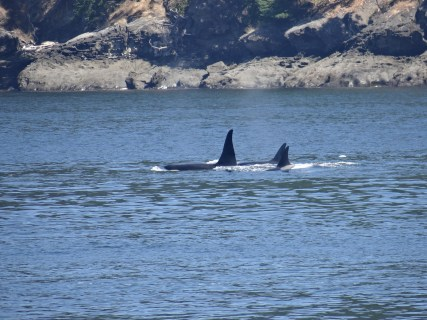 Orca Whales Friday Harbor