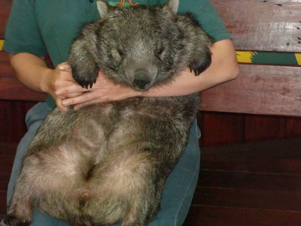 Wombat Australia