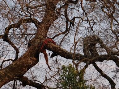 Dead Impala in tree - Leopard dinner