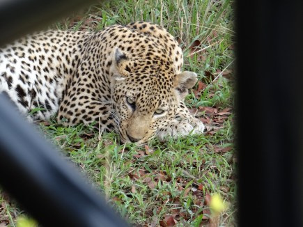 Leopard safari sabi sands