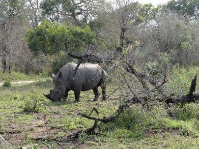 Black Rhino South Africa safari Sabi Sands