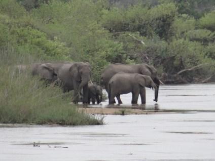 Elephants at the river safari