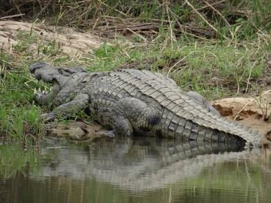 Nile Crocodile on safari South Africa