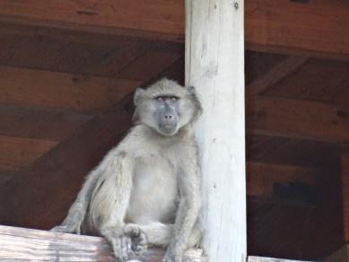 Monkey on safari