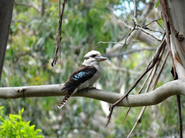Australian Kookaburra along The Great Ocean Road day tour