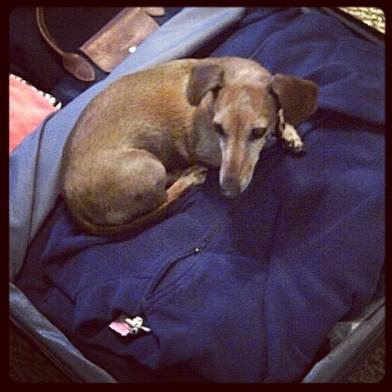 Dog in suitcase Paris with Mom