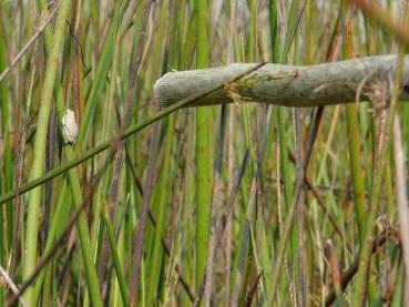 Tree Frog Okavango Delta