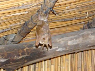 Hanging Bat in Africa