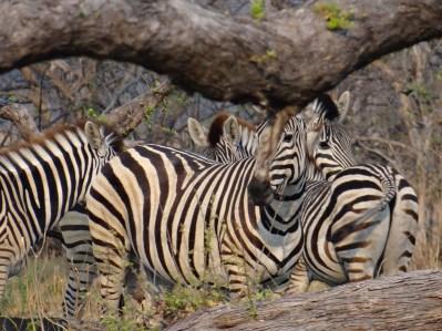 Zebras in Africa Okavango Delta