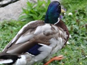 Duck at St. James Park