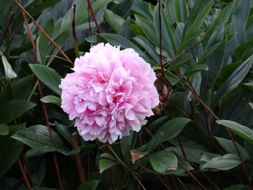 Pink flower London