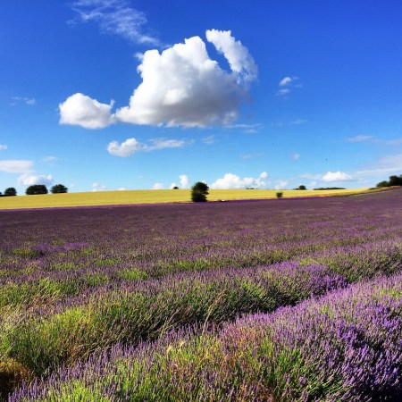 Gorgeous England day Hitchin lavender