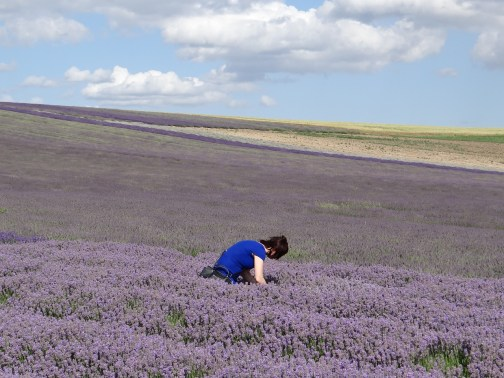 Hitchin Lavender Fields of Flowers