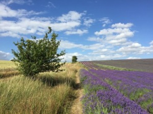 Hitchin Lavender farm England blue sky day