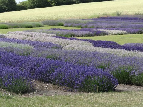 Hitchin Lavender England flowers