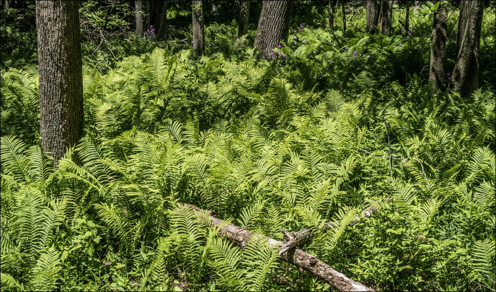 Patch of Ferns