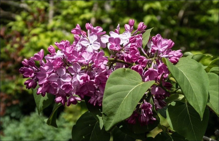 Olbrich Botanical Gardens - Lilacs