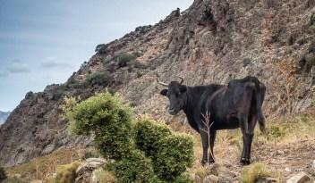 Une vache sauvage corse