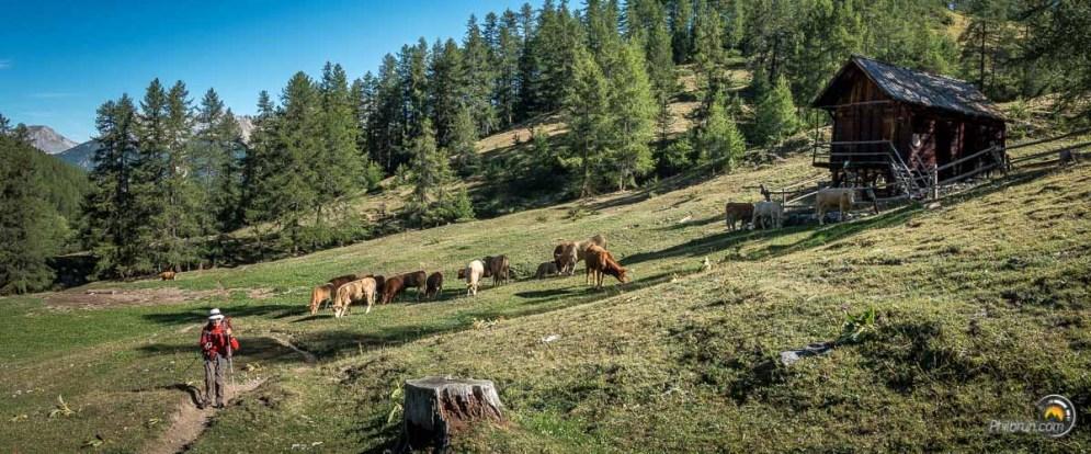 L'alpage est verdoyant et les vaches paisibles