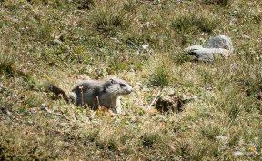 Les marmottes nous observent, autant que nous le faisons à leur égard !