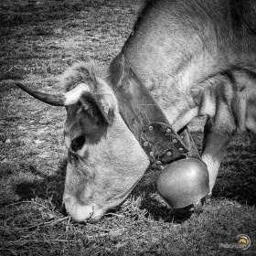 Autour du refuge, les vaches sont partout dans un bruit de clarine assourdissant !