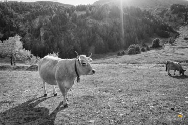 Nous arrivons à Fonds Cervières en même temps qu'un troupeau de vaches