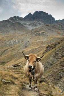 Cette vache n'est pas décidée à nous céder le passage !