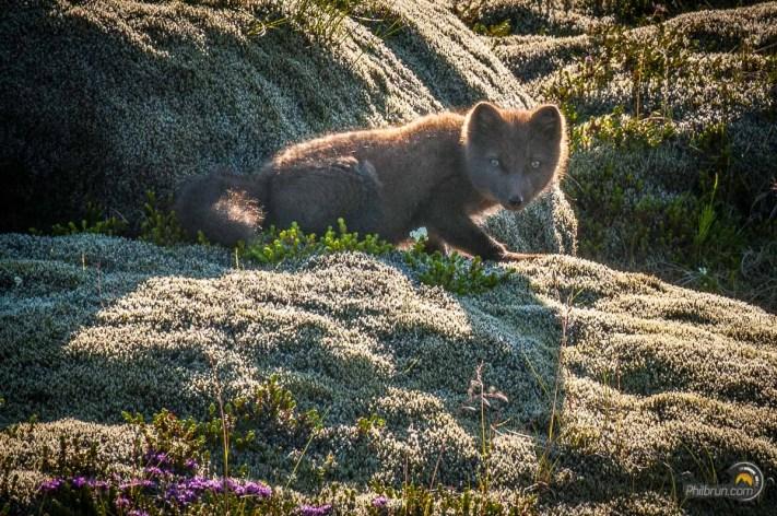Jeune renard des neiges Islandais rencontré le long de la route principale