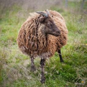 Mouton roux à cornes