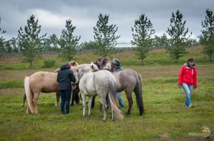 Les chevaux se poussent pour récupérer du pain !