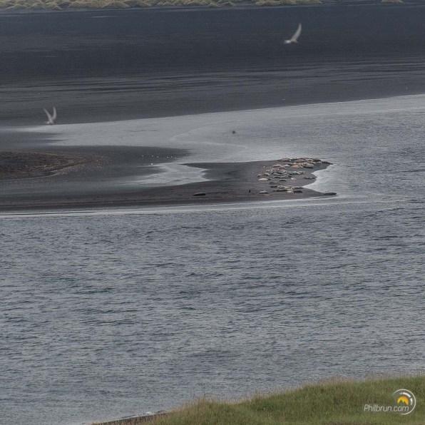 Lande de sable en face de Hvitserkur avec une colonie de phoques qui se reposent