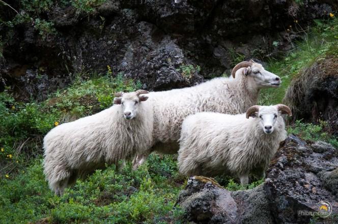 Dans la faille de Thingvellir la tondeuse fait aussi de la laine !