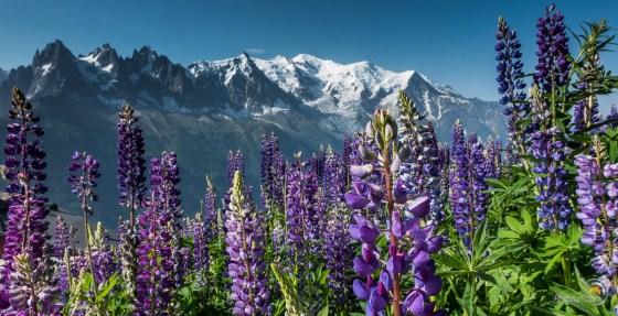 Les fleurs sont tellement belles qu'elle cachent le Mont Blanc :-)