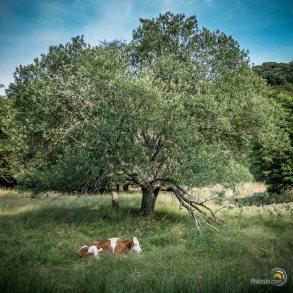 Dans la vallée de Chaudefour, les vaches sont paisibles