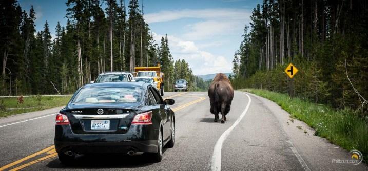 Un gros mâle débonnaire déambule sur la route sans se soucier des véhicules qui doivent lui céder le passage.
